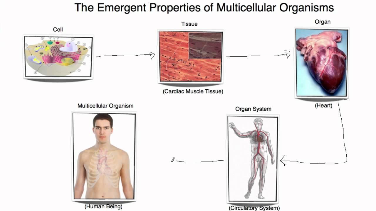 Emergent Properties Of Multicellular Organisms Saint Maur
