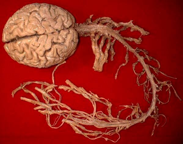 human brain and spinal cord 3